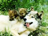 201461814355_287223__wolf-mom-with-cubs_p